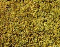 Detail of sphagnum moss plants on a fallen log. Closeup detail of green sphagnum moss plants crowded on a fallen log in winter in western Pennsylvania Royalty Free Stock Image
