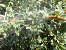 Spider web on a green bush. A detail of a spider web on a green bush stock photos