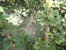 Spider web on a green bush. A detail of a spider web on a green bush royalty free stock photos