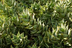 South African Mitre Aloe plants Royalty Free Stock Photography