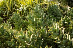 South African Mitre Aloe plants Royalty Free Stock Image