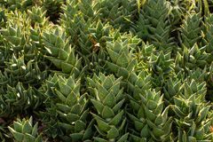 South African Mitre Aloe plants Royalty Free Stock Photo