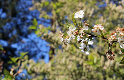 Detail of spring tree with white bloom. Photo of detail of spring tree with white bloom royalty free stock image
