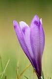 Detail of spring wild crocus Stock Image