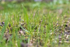 Grass sprouts in the spring stock photo