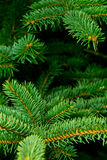 Detail Of Spruce Royalty Free Stock Photo