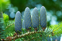 Detail of spruce cone Royalty Free Stock Image