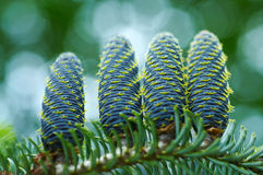 Detail of spruce cone Royalty Free Stock Photos