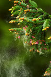 Detail of spruce tree branch Stock Image