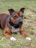 Detail of Staffordshire Bull Terrier puppy Stock Photography
