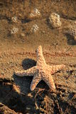 Detail of starfish on shore Royalty Free Stock Photography