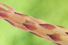 Detail of the stem of Sempervivum tectorum Royalty Free Stock Images