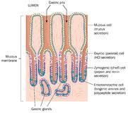 Detail of stomach mucous membrane Royalty Free Stock Image