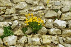 Detail of a stone wall, small yellow flowers pushed between the stones. Very beautiful Royalty Free Stock Photography