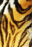Detail on stripped tiger fur. Real wild animal pelt texture for your design Royalty Free Stock Images