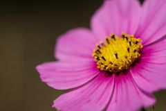 Hot pink flower close up stock image