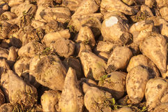 Detail of sugar beets in a pile Stock Photography