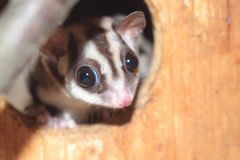 Sugar glider. The detail of sugar glider royalty free stock photography