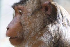 Sunda-pig tailed macaque. The detail of Sunda-pig tailed macaque royalty free stock photos