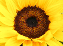 Detail of sunflower Royalty Free Stock Photo