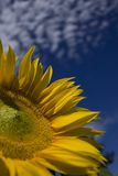 Detail of a sunflower. With clouds Stock Photo