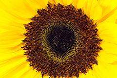 Detail of the sunflower Stock Photos