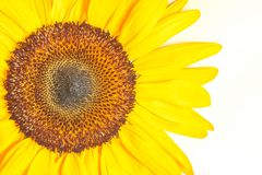Detail of sunflower Royalty Free Stock Photography