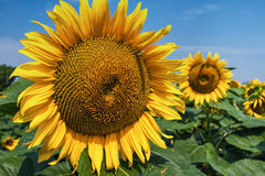 Detail of sunflower . Royalty Free Stock Images