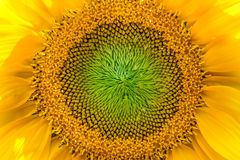 Detail of a sunflower Royalty Free Stock Photos