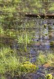 Swamp ambiance. Detail of a swamp in Southern Germany at early spring time royalty free stock photo