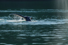 Detail of the tail of Humpback whale (Megaptera novaeangliae). Royalty Free Stock Photography