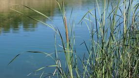 Detail of The tall Typha Latifolia grass on the field. Herbaceous plant before a lake, blowing by a strong wind. Detail of The tall Typha Latifolia grass on the stock footage
