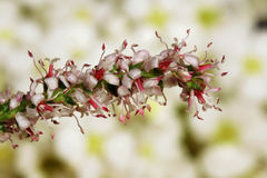 Detail of tamarisk Stock Photography