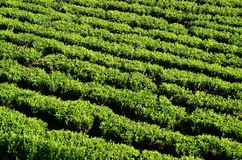 Detail of the tea plants - abstract Royalty Free Stock Image