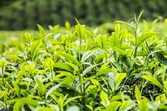 Detail of Tea Leaves- Cameron Highlands, Malaysia Stock Photos