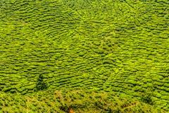 Detail of Tea Plantation-Cameron Highland,Malaysia Royalty Free Stock Photography