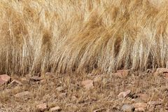 Detail of a teff field during harvest Royalty Free Stock Image