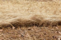 Detail of a teff field during harvest Royalty Free Stock Photo