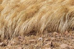 Detail of a teff field during harvest Royalty Free Stock Photos