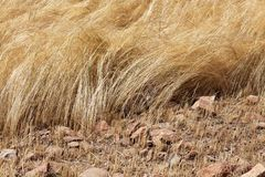 Detail of a teff field during harvest Stock Images
