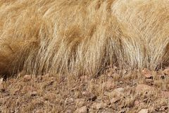 Detail of a teff field during harvest Stock Image