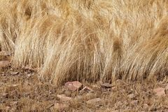 Detail of a teff field during harvest Royalty Free Stock Photography
