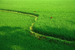 Detail of terraced rice fields Stock Image