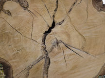 Detail texture tree hardwood with tree rings Stock Image