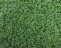 Plant cover of selaginella. Detail of theovergrowth of selaginella Stock Photography