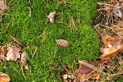 Detail of thick green moss with some small cones. And needles Royalty Free Stock Photography