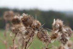 Detail of a thistle dry royalty free stock photography