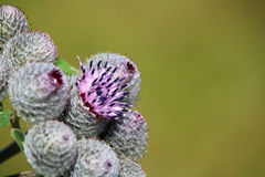 Detail of thistles on the green meadow Royalty Free Stock Photography