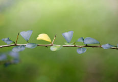Detail of thorny branches Stock Photography