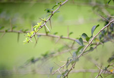 Detail of thorny branches Royalty Free Stock Images